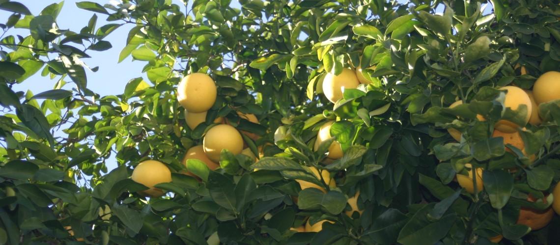 Top Searched Term:  Citrus