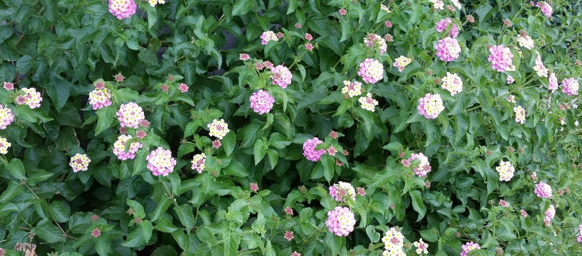 Poisonous Landscape Plants Cooperative Extension The