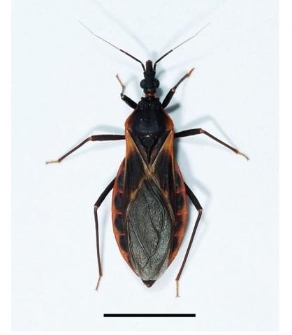 Adult female kissing bug. Triatoma rubida