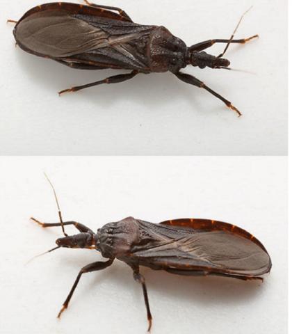 Adult western bloodsucking kissing bug. Triatoma protracta
