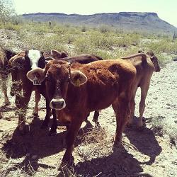 Cattle in Arizona rangeland. Photo By: Ashley Hall