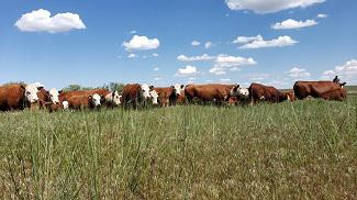 Cattle in Field: Photo by Ashley Wright