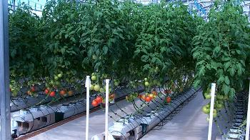Controlled Environment Agriculture Center Greehouse showing tomatoes