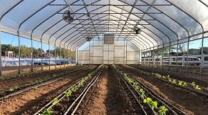 High Tunnel Greenhouse with newly transplanted cucumbers