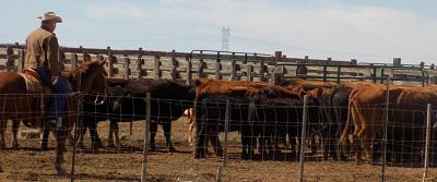Mohave County Livestock