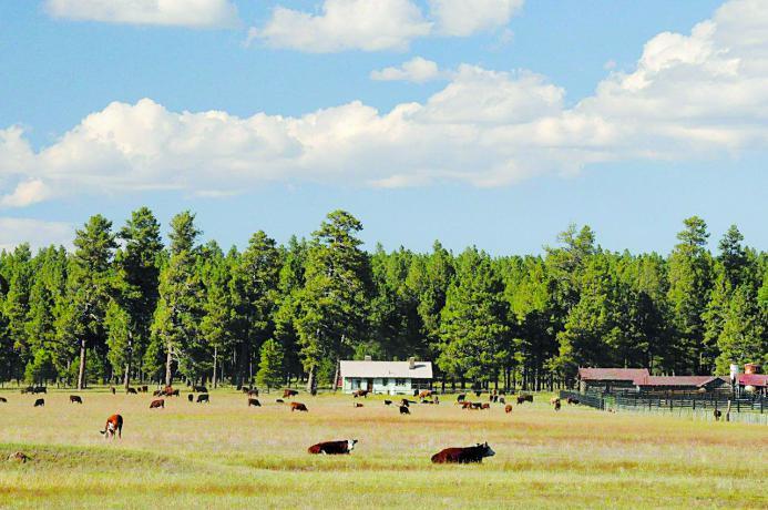 cows rest in field